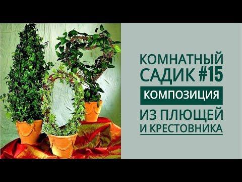 Комнатный садик #15. КОМПОЗИЦИЯ из ПЛЮЩЕЙ (ХЕДЕР) и КРЕСТОВНИКА РОУЛИ