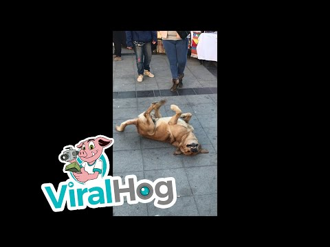 Dancing Dog || ViralHog