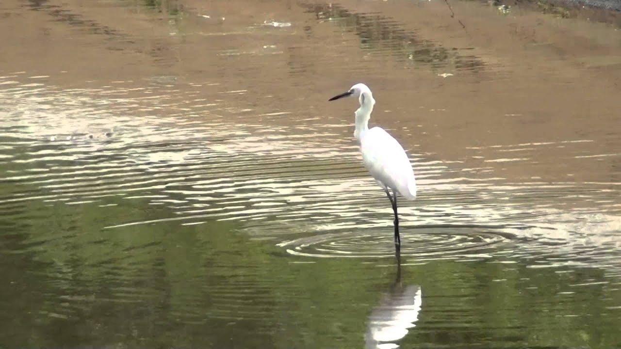 A beautiful White Egret bird near Elayamuthur, Amaravathy ...