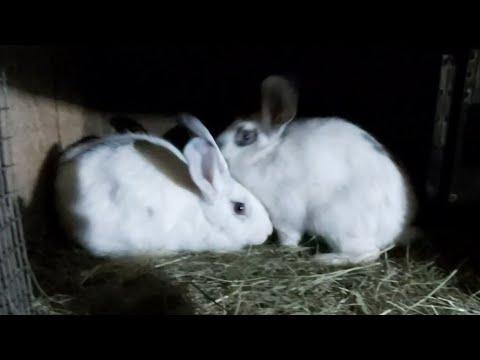 Клички для кроликов)) кто победил?? Покрылась еще однакто?