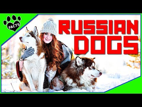 TopTenz: 10 Unique Dog Breeds From Russia – Dogs 101 – Animal Facts