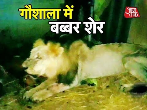 Lion Enters Cattle Shed In Gujarat, Kills 5 Cows And 3 Calves