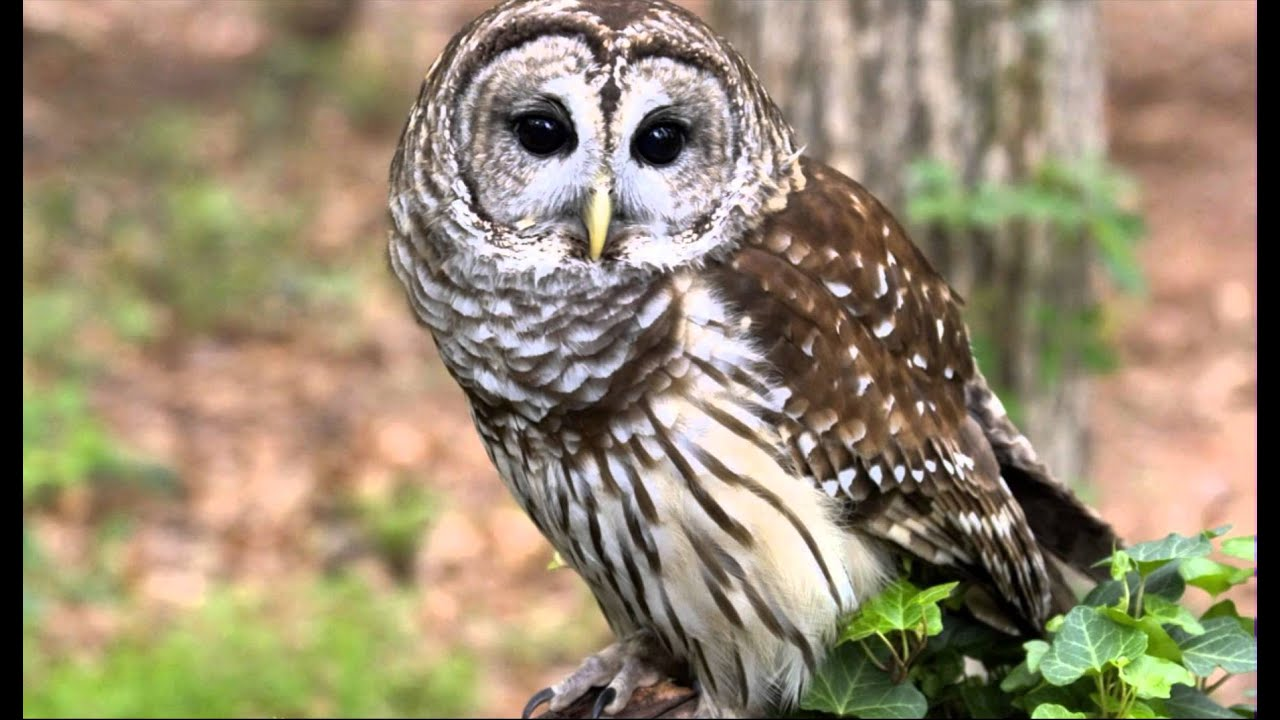 91 Owl, Barred Female two phrase hoot, ascending hoot ...