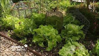 Planter des salades tout au long de l