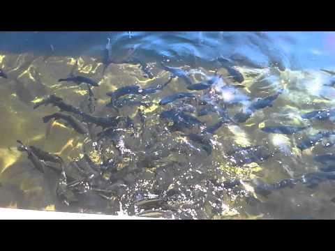 1 Min Tour Of Fillmore CA Fish Hatchery