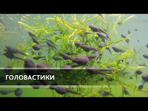 Вопрос: Какие особенности головастиков говорят о родстве рыб и земноводных?