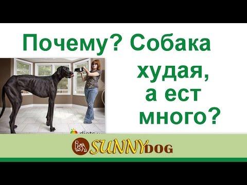 собака худая, а ест хорошо  что делать  Или пес худеете, но ест отлично