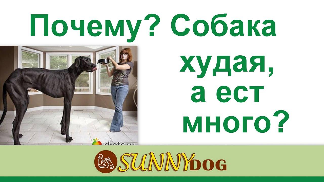 собака худая, а ест хорошо что делать Или пес худеете, но ест ...