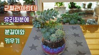 군월관(아란타) 유리화분에 분갈이및키우기~!!!Succulent