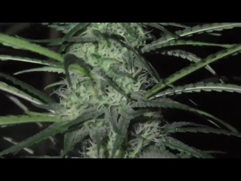 Cannabis production | Cheese - Main building phase