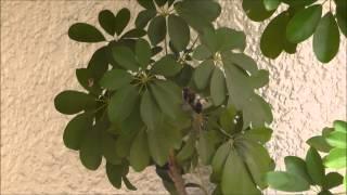 玄関先の鉢植えのカポックにメジロが巣を作りました。 実は2度目なんで...