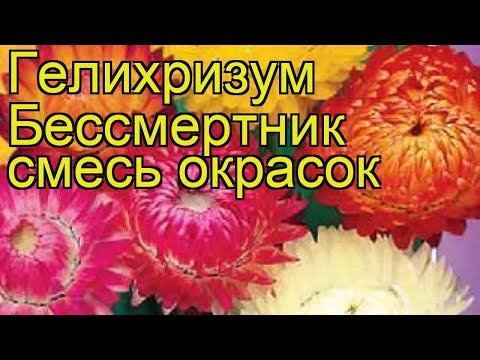 Гелихризум Бессмертник смесь окрасок. Краткий обзор, описание характеристик, где купить семена