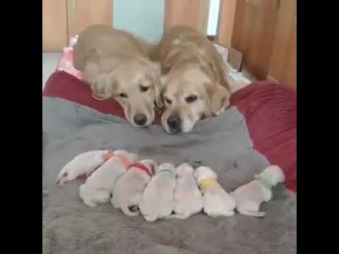 Golden Retriever Parents Looking Proudly At Their Puppies
