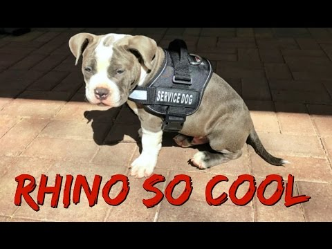 Introducing Rhino So Cool The Service Puppy (11 Week Old American Bully Exotic Breed)