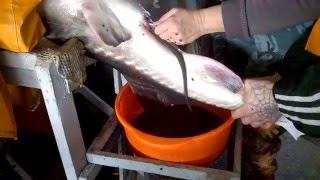 видео Рыба белуга (45 фото): самая крупная, азовская, белая, большая, в Волге, описание, нерест