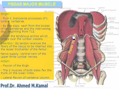 62 abdomen muscles the posterior abdominal wall 62 abdomen muscles the posterior abdominal wall cxt ccuart Images