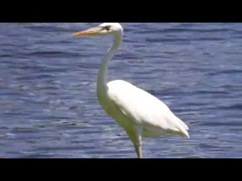 Great White Heron 20140813