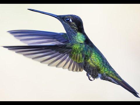 Bird Name- Hummingbird Video