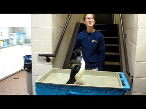 Rockhopper Penguin hopping down the stairs.MOV