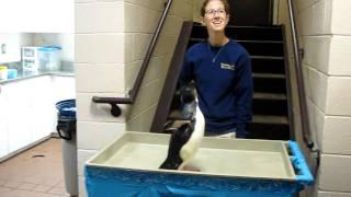 Rockhopper Penguin hopping down the stairs.MOV