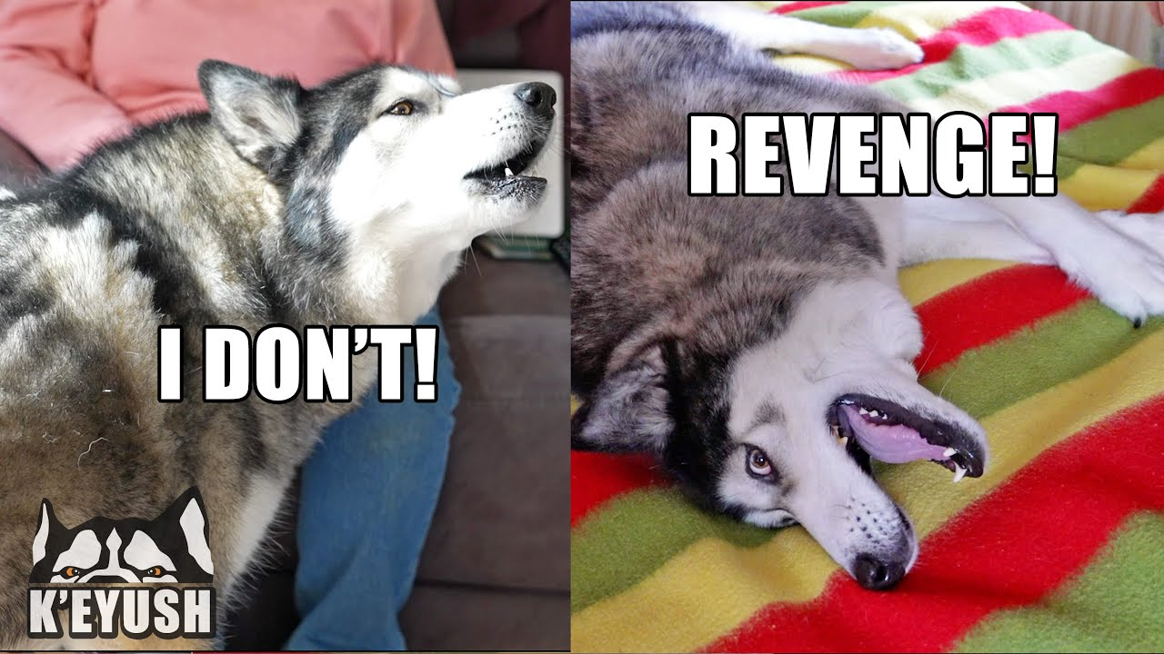 My HUSKY Gets REVENGE On My MUM When He Argues About His Nose!