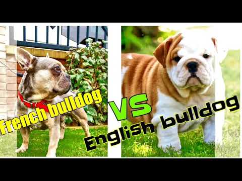 French  bulldog vs English bulldog dog comparisons by Dog tubed.
