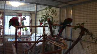 "My Two Greenwinged Macaws ""arash And Harley""  Together :)"