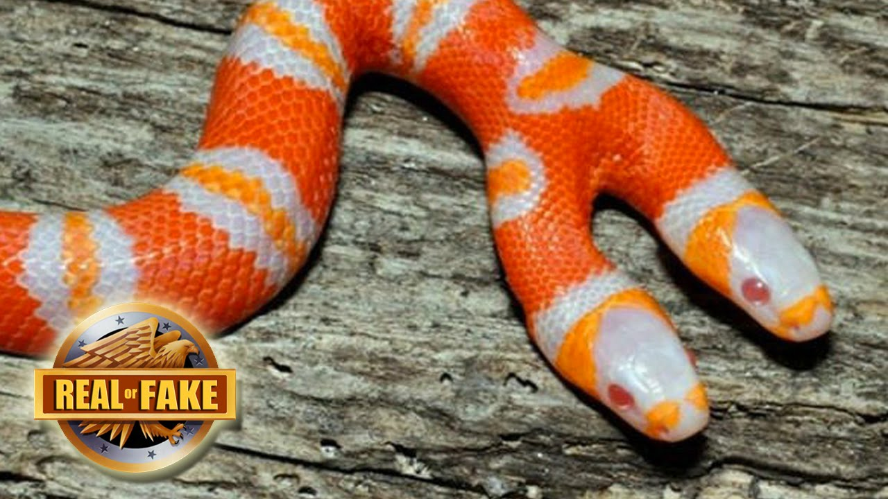 BIZARRE TWO HEADED SNAKE - real or fake? - YouTube