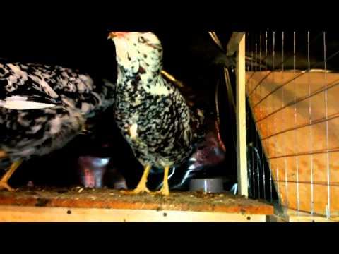 Куры Орловские и Ливенские ситцевые у меня в хозяйстве (Orlovskaya breed chickens )