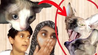 Getting a Devon Rex & reaction of my first cat (GONE WRONG)