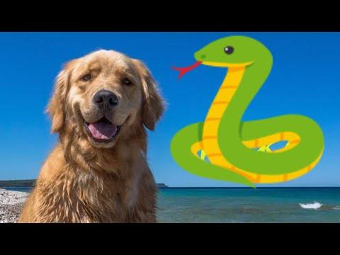 Golden Retriever Puppy Meets Aggressive Snake - Snake Strike, Funny Video