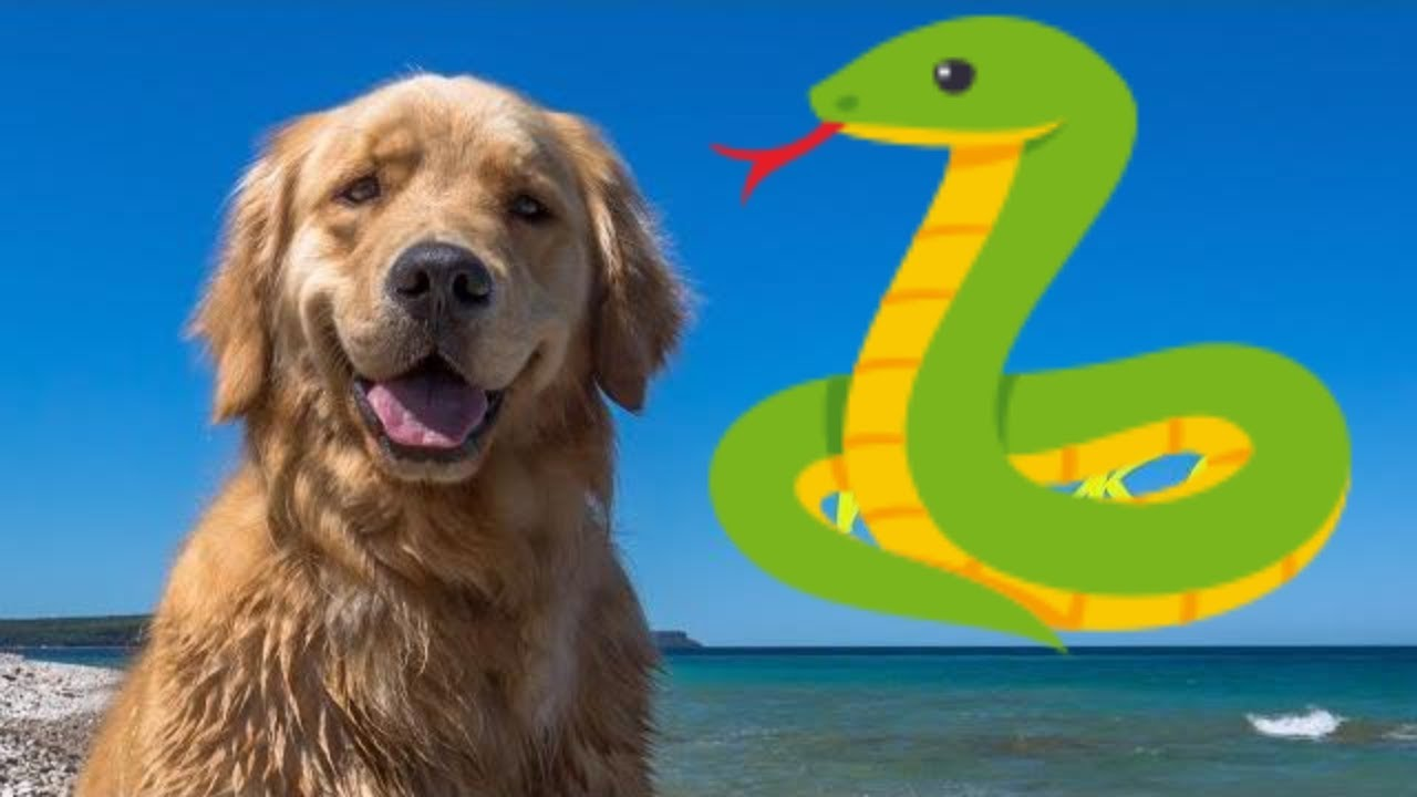 golden-retriever-puppy-meets-aggressive-snake-snake-strike-funny-video