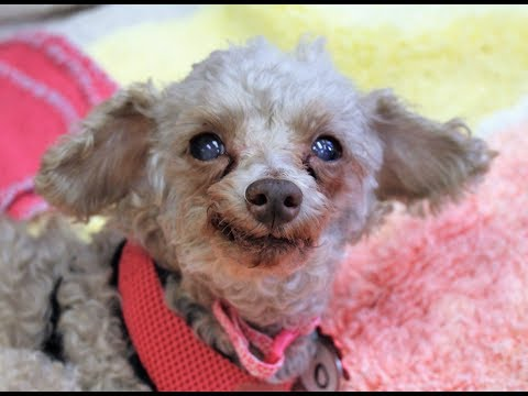 Macie, a Toy Poodle at Muttville-adopted!