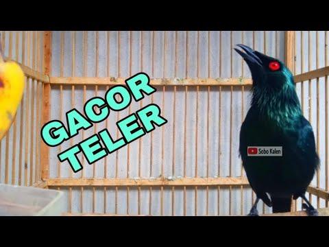 Kicau Cucak Keling Gacor Teler Full Isian Youtube