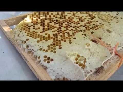 KĨ THUẬT lấy mật ong, nuôi ong , bắt ong chúa, , trên VTV2