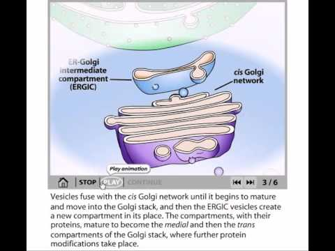 Golgi bodies function and organization