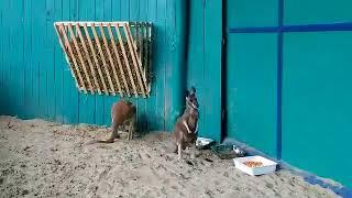 Кенгуру в Бердянском зоопарке
