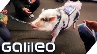 Das Anti-Stress-Schwein vom Flughafen San Francisco | Galileo | ProSieben