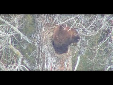 Black bear webcam — img 10