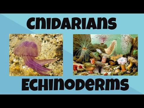 Cnidarians And Echinoderms