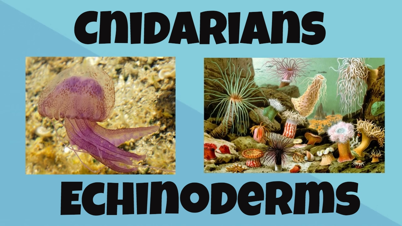 Cnidarians And Echinoderms Youtube