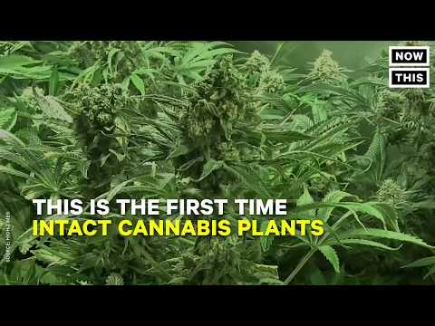 Archaeologists discover 2,500 year old marijuana