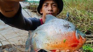 Cá Piranha Sông Bé - Câu cá ngày nước rút ✅