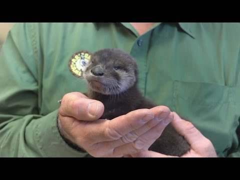 SRP employees rescue baby otter from Arizona Canal
