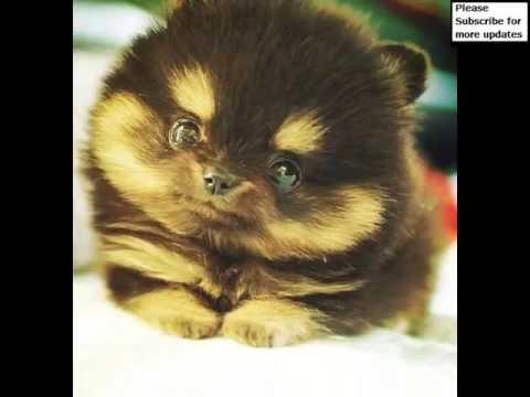 Husky Pomeranian Mix Puppies