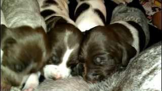Gsp Puppies Nursing At 2 1/2 Weeks German Short Haired Pointers