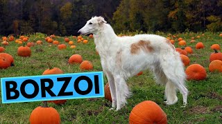 Borzoi Dog Breed  TOP 10 Interesting Facts