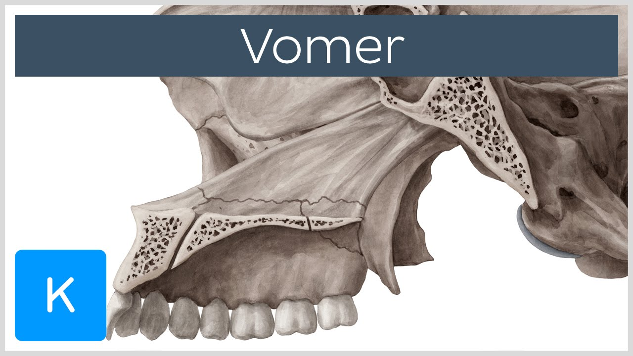 Vomer Bone - Definition & Location - Human Anatomy | Kenhub - YouTube