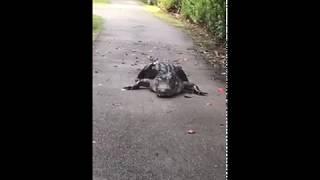 Крокодил устал