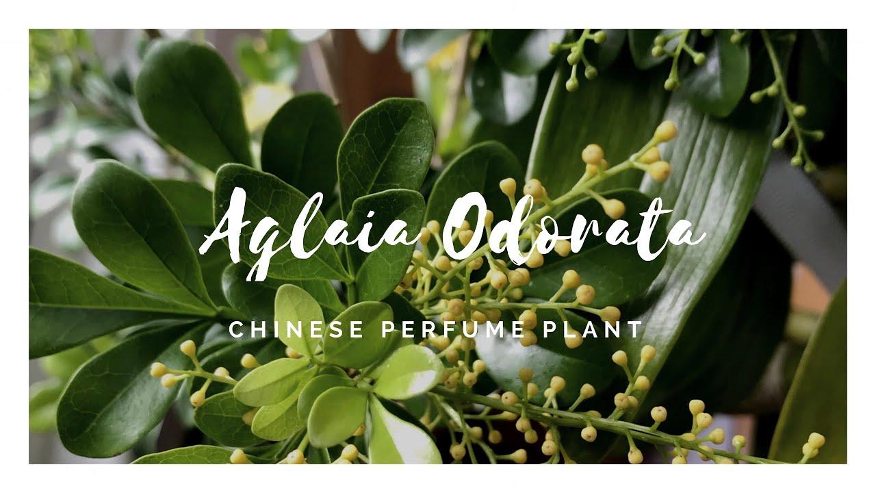 Aglaia Odorata - 米兰花 - The Chinese Perfume Plant